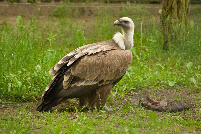 A griffon vulture royalty free stock images