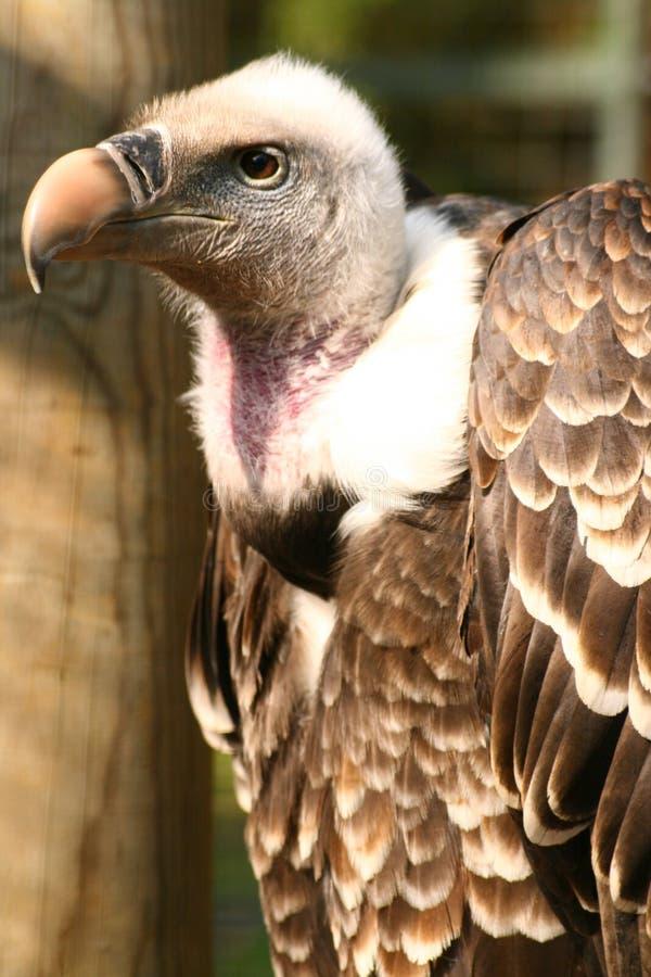 Free Griffon Vulture Royalty Free Stock Photos - 2165748