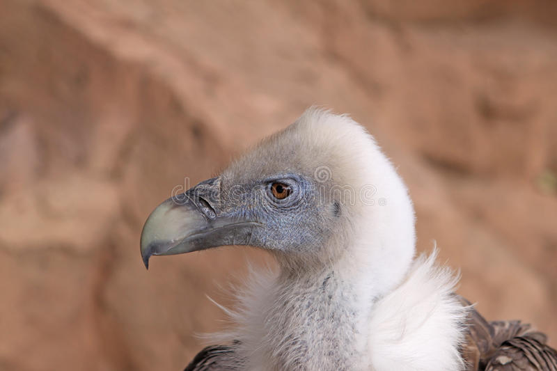 Download Griffon Vulture stock image. Image of independence, looking - 22625389
