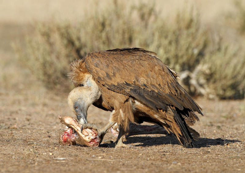 Download Griffon vulture stock photo. Image of crow, eagle, picks - 25496604