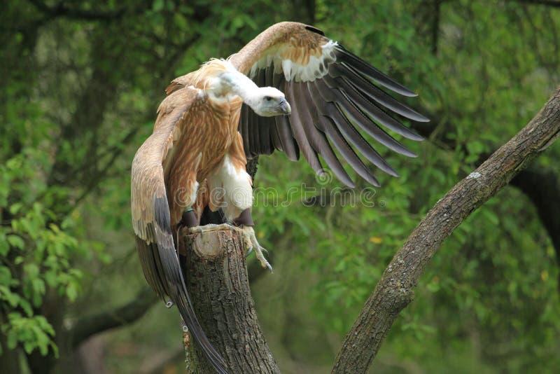 Download Griffon vulture stock photo. Image of world, griffon - 26191912