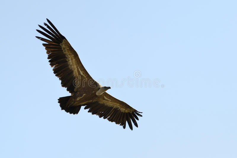 Griffon Vulture fotos de archivo libres de regalías