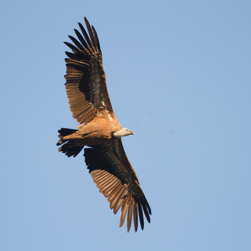 Griffon Vulture. Close-up andalusie spain stock images