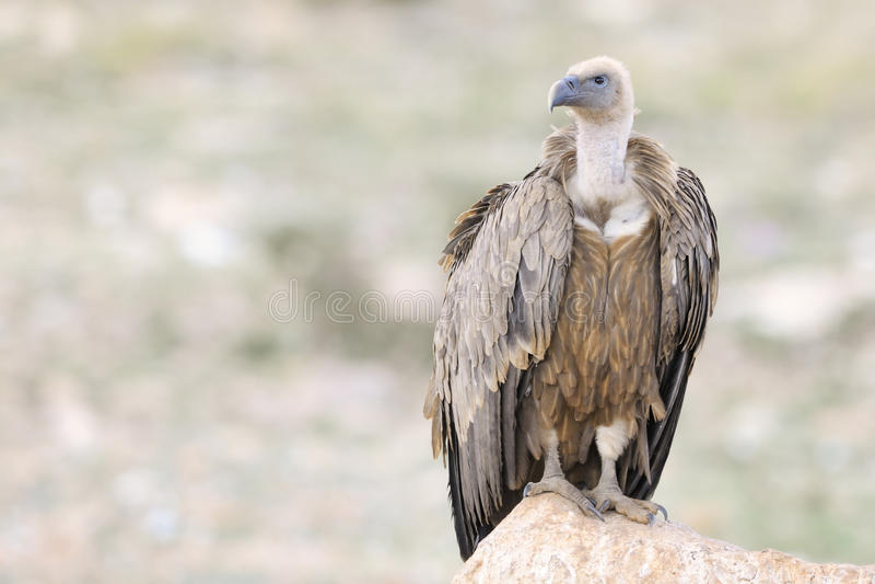 Griffon Vulture fotografie stock
