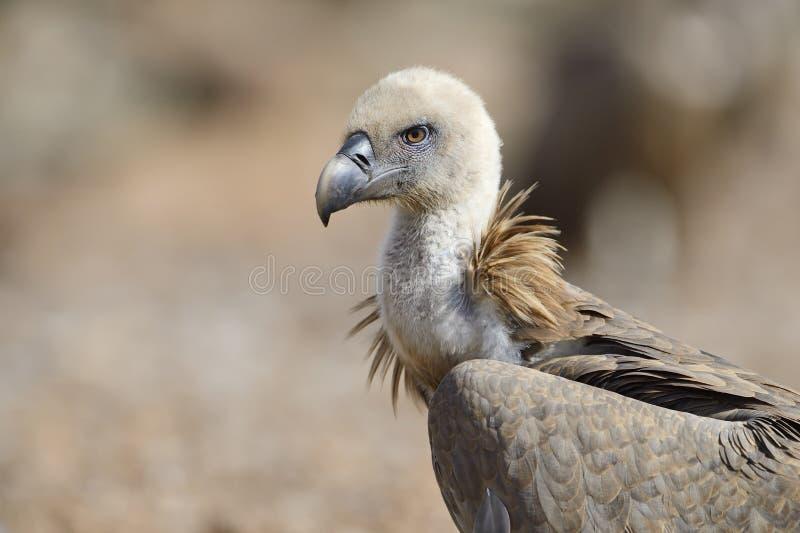 Griffon Vulture foto de archivo