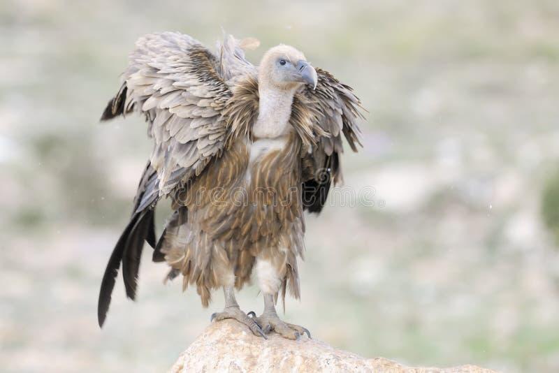 Griffon Vulture imagenes de archivo