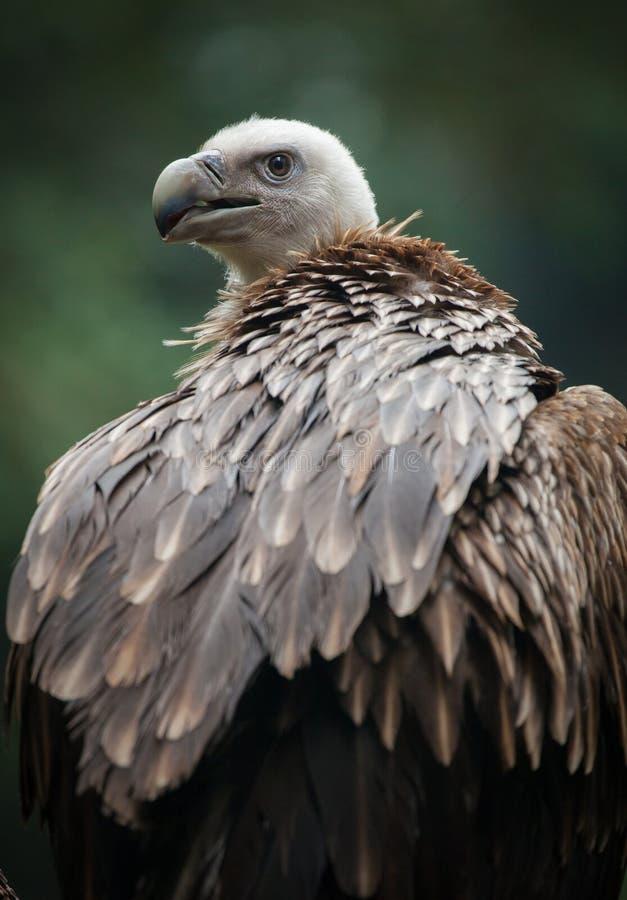 Griffon Vulture stockfotografie