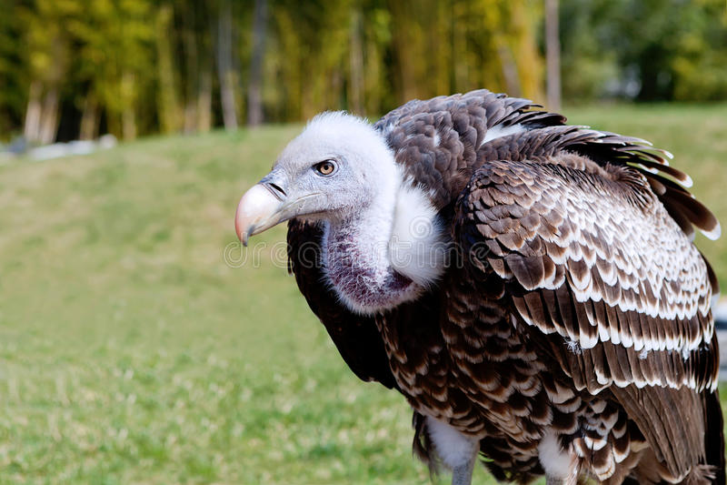 Griffon Vulture stock fotografie