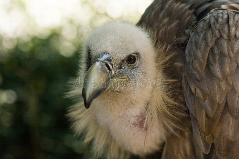 Griffon Vulture. Resting in the shadow and watching stock photography