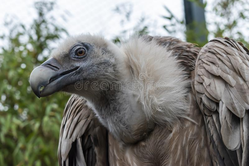 Griffon Vulture Bird imagem de stock