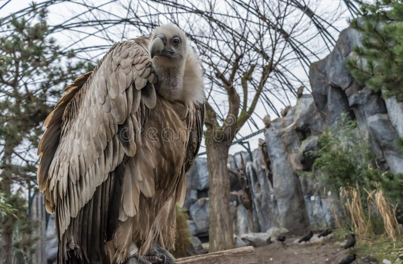 Griffon Vulture Bird fotos de stock