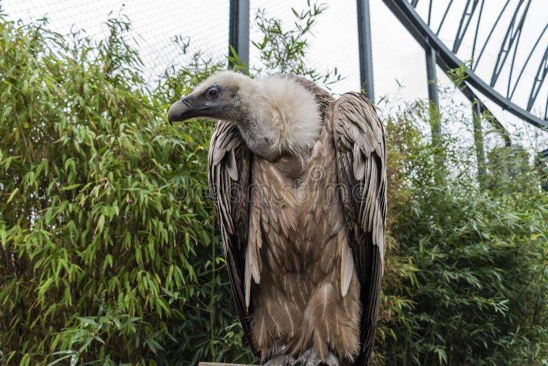 Griffon Vulture Bird fotografia de stock