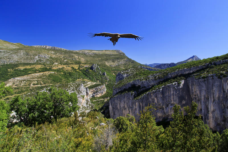 Griffon Vulture che sale sopra le gole du Verdon fotografia stock