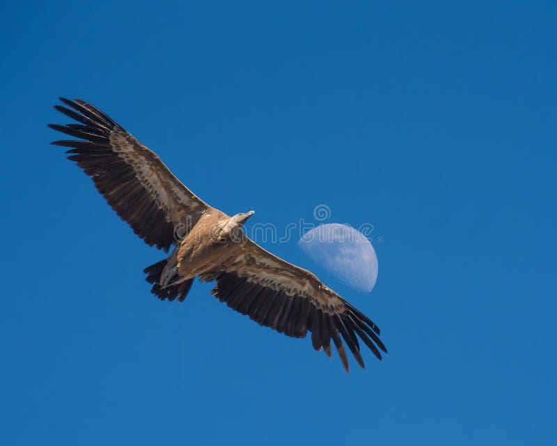 Griffon Vulture che scivola contro una mezza luna di giorno, Monfrague, fotografia stock libera da diritti