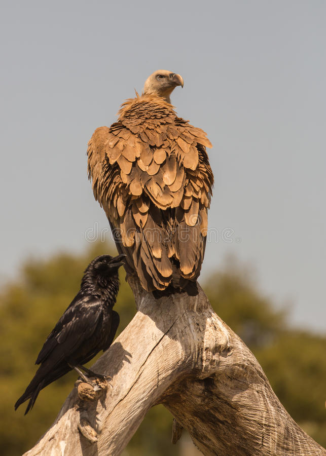 Griffon vulture and Common Raven stock photos