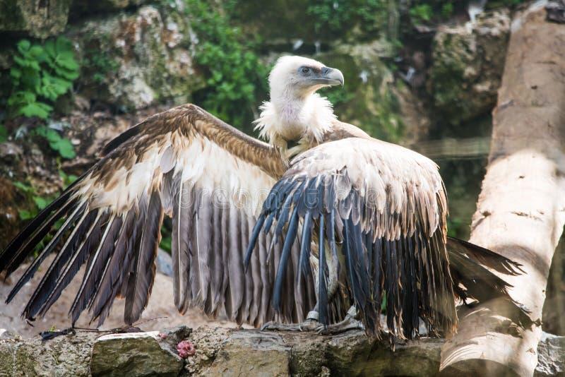Griffon Vulture stock afbeelding