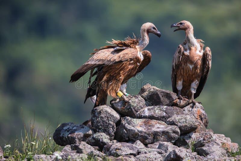 Griffon Vulture em um retrato detalhado, estando em excessos de uma rocha imagem de stock