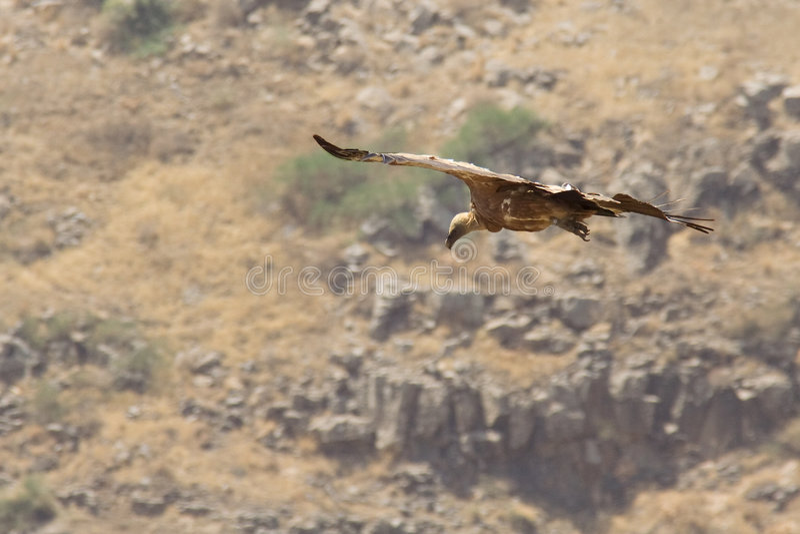 Griffon Vulture in flight stock image