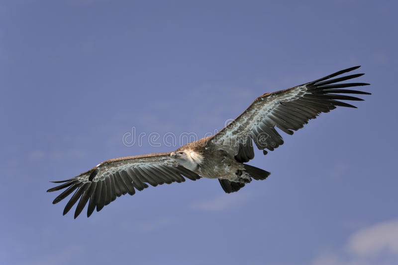 Griffon vulture in flight stock photography