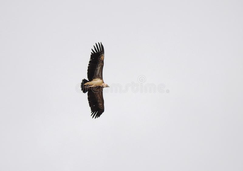 Griffon vulture flying alone in the sky royalty free stock image