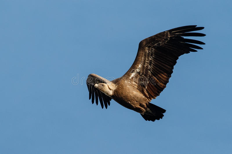 Griffon vulture flying on the blue sky royalty free stock photography