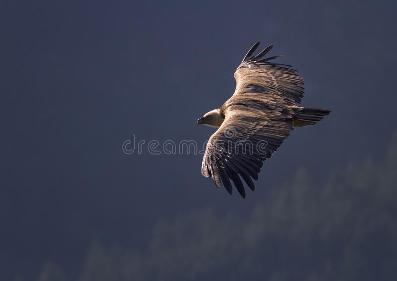 Griffon vulture flying, Drome provencale, France. Griffon vulture flying upon the mountain, Drome provencale, France stock image