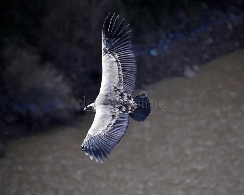 A griffon vulture flying in a natural park stock photography