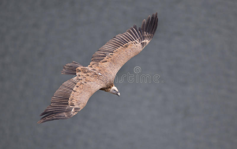 Griffon vulture flying stock images