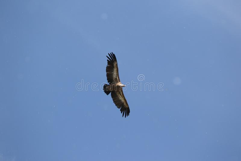 Griffon vulture flying with spread wings royalty free stock photography