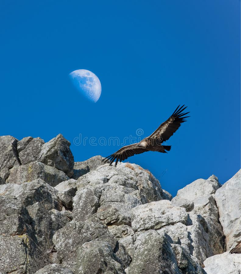 Griffon Vulture glidning mot en daghalvmåne, Monfrague, royaltyfria foton