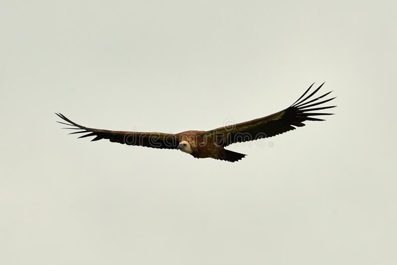 Griffon Vulture Griffin Vulture Abutre, fingerboard, grifo, griffon-abutre Voo do abutre de Griffon imagens de stock