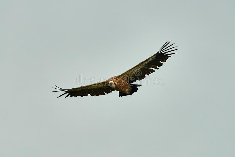 Griffon Vulture Griffin Vulture Abutre, fingerboard, grifo, griffon-abutre Voo do abutre de Griffon imagem de stock