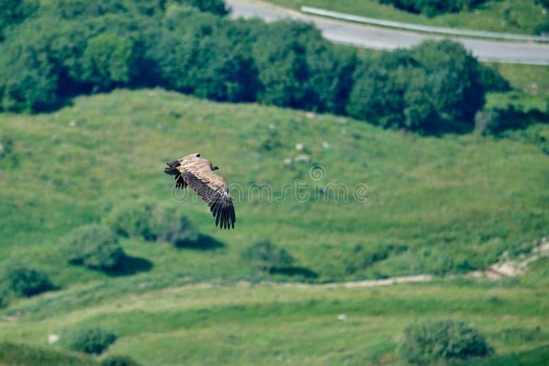 Griffon Vulture Griffin Vulture Geier, Fingerboard, Greif, Gänsegeier G?nsegeierflug Gänsegeier fliegt an lizenzfreies stockbild