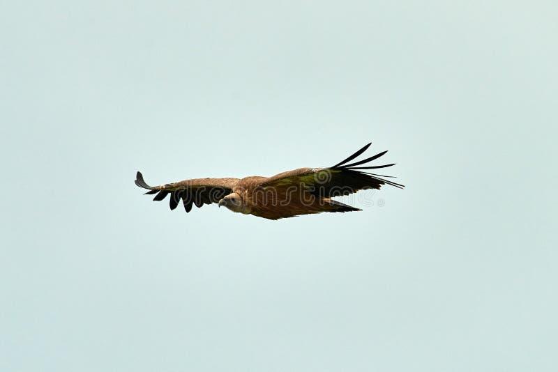 Griffon Vulture Griffin Vulture Geier, Fingerboard, Greif, Gänsegeier G?nsegeierflug stockfotografie