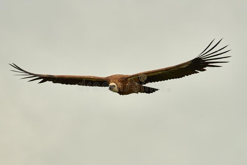 Griffon Vulture Griffin Vulture Geier, Fingerboard, Greif, Gänsegeier G?nsegeierflug stockfoto