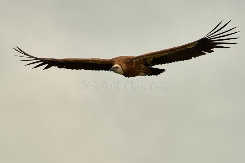 Griffon Vulture Griffin Vulture Geier, Fingerboard, Greif, Gänsegeier G?nsegeierflug lizenzfreie stockbilder