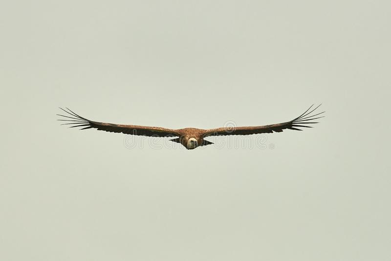 Griffon Vulture Griffin Vulture Geier, Fingerboard, Greif, Gänsegeier G?nsegeierflug stockbild