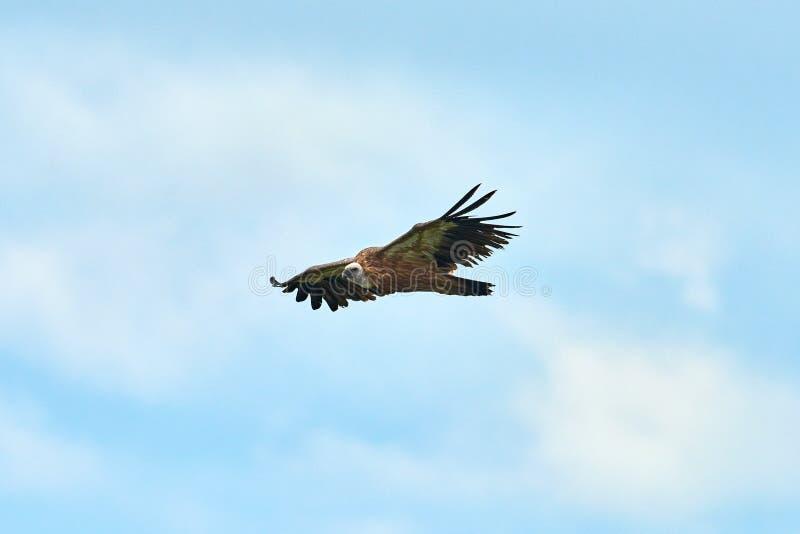 Griffon Vulture Griffin Vulture Geier, Fingerboard, Greif, Gänsegeier G?nsegeierflug lizenzfreies stockbild