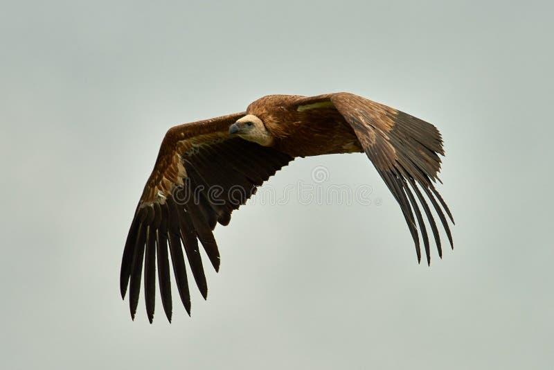 Griffon Vulture Griffin Vulture Geier, Fingerboard, Greif, Gänsegeier G?nsegeierflug lizenzfreies stockfoto