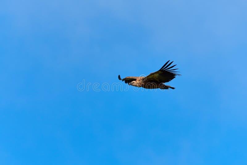 Griffon Vulture Griffin Vulture Geier, Fingerboard, Greif, Gänsegeier G?nsegeierflug stockbilder