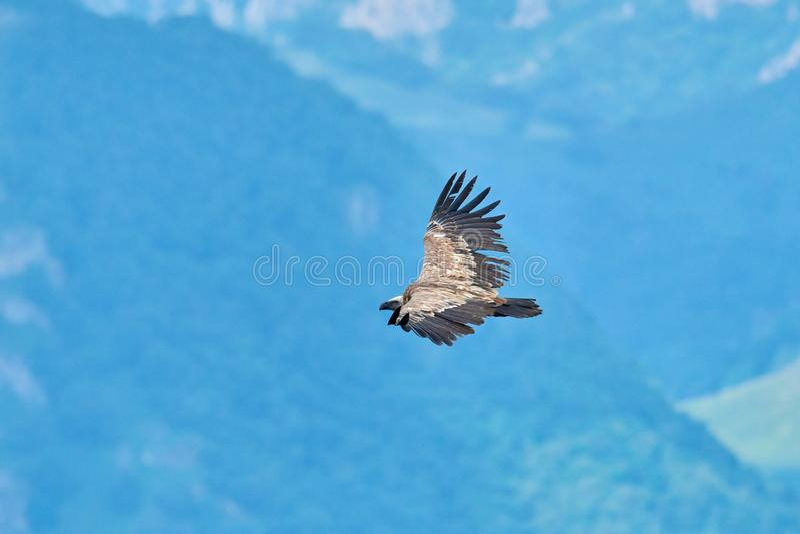 Griffon Vulture Griffin Vulture Geier, Fingerboard, Greif, Gänsegeier G?nsegeierflug lizenzfreie stockfotografie