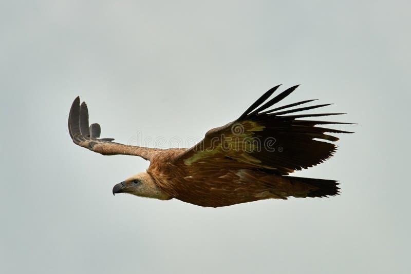 Griffon Vulture Griffin Vulture Geier, Fingerboard, Greif, Gänsegeier G?nsegeierflug lizenzfreie stockfotos