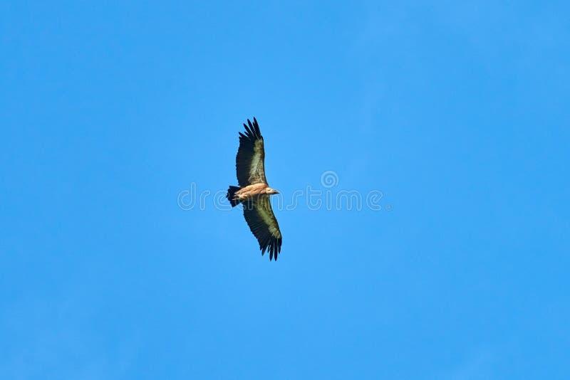 Griffon Vulture Griffin Vulture Geier, Fingerboard, Greif G?nsegeierflug stockfotografie