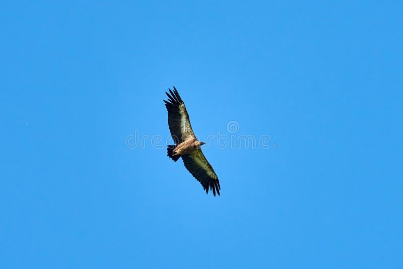 Griffon Vulture Griffin Vulture Geier, Fingerboard, Greif G?nsegeierflug lizenzfreies stockfoto