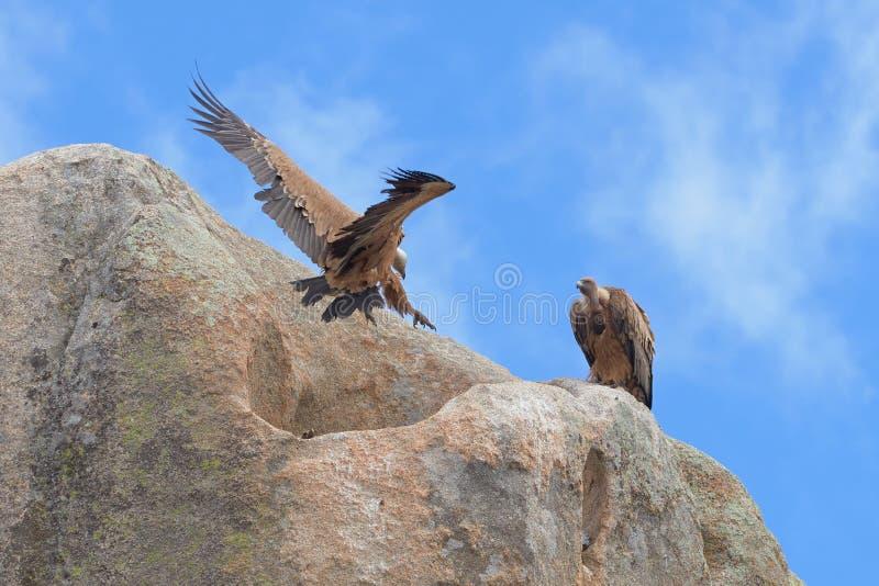 Griffon Vulture royalty-vrije stock afbeelding