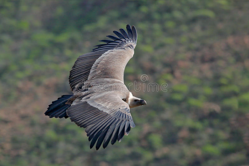 Griffon Vulture, Gyps fulvus, big birds of prey flying above the moountain. Vulture in the stone. Bird in the nature habitat, Spai royalty free stock images