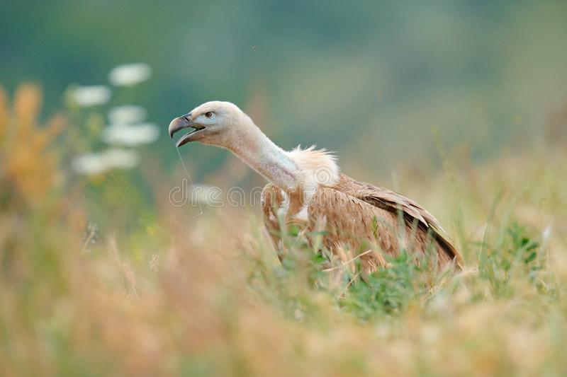 Griffon Vulture, Gyps fulvus, big birds of prey sitting on rocky mountain in grass, nature habitat, Spain. Wildlife from Europe. Wildlife scene from nature royalty free stock image
