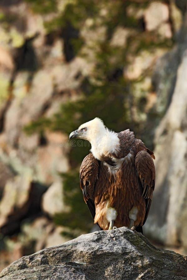 Griffon Vulture, Gyps fulvus, big birds of prey sitting on the stone, rock mountain, nature habitat, Spain. Europe royalty free stock photography