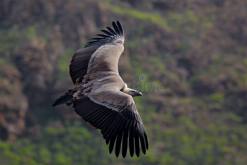 Griffon Vulture, Gyps-fulvus die, grote roofvogels boven moountain vliegen Gier in de steen Vogel in de aardhabitat, Spai royalty-vrije stock afbeeldingen