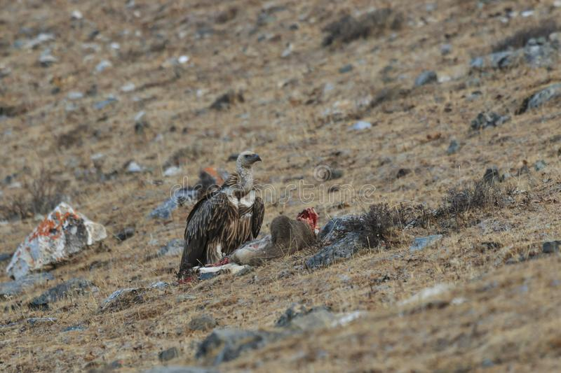 Griffon Vulture Gyps fulvus feeding on a carcass of Blue Sheep Pseudois Nayaur in SiChuan, China.  royalty free stock images